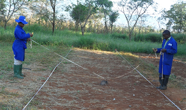 Training rats to detect TNT powder