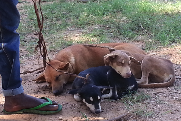 Dogs sleeping in the sun, waiting to receive vaccines
